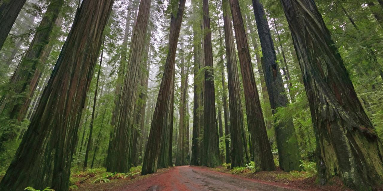 Redwood Trees, Humboldt Redwoods State Park, Avenue of the Giants, Mattole Road, California, USA, North America. Coast Redwoods,